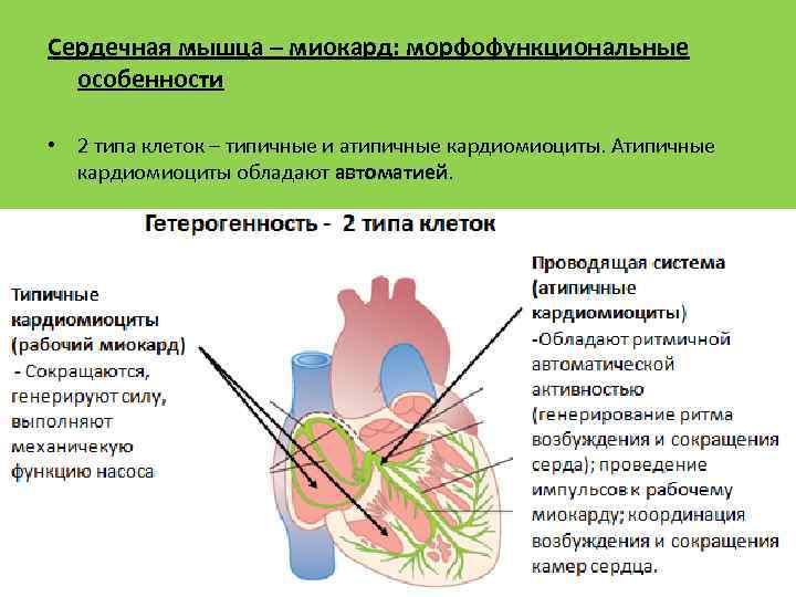 Сердечная мышца – миокард: морфофункциональные особенности • 2 типа клеток – типичные и атипичные