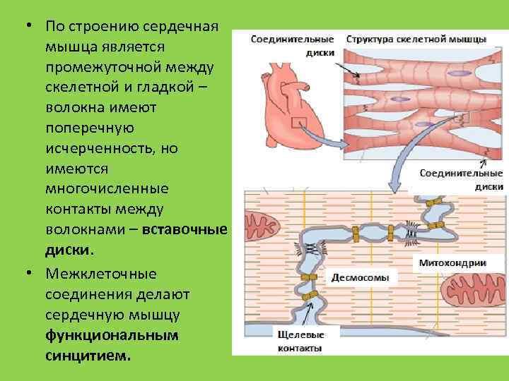 • По строению сердечная мышца является промежуточной между скелетной и гладкой – волокна