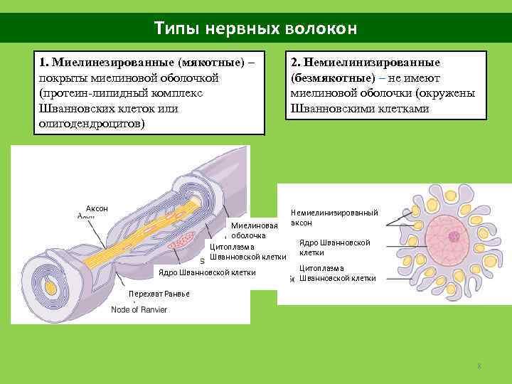 Типы нервных волокон 1. Миелинезированные (мякотные) – покрыты миелиновой оболочкой (протеин-липидный комплекс Шванновских клеток