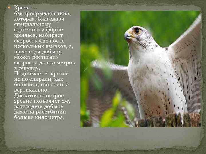 приготовления индюшиных кречет птица фото и описание спустя годы уже