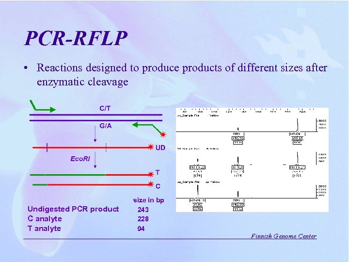 PCR-RFLP • Reactions designed to produce products of different sizes after enzymatic cleavage Undigested