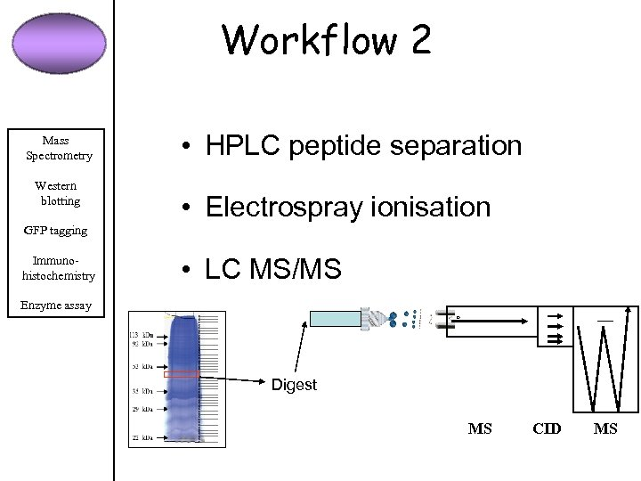 Workflow 2 Mass Spectrometry Western blotting • HPLC peptide separation • Electrospray ionisation GFP