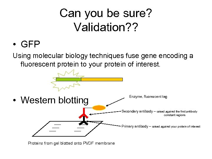 Can you be sure? Validation? ? • GFP Using molecular biology techniques fuse gene