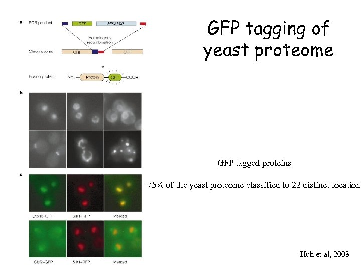 GFP tagging of yeast proteome GFP tagged proteins 75% of the yeast proteome classified