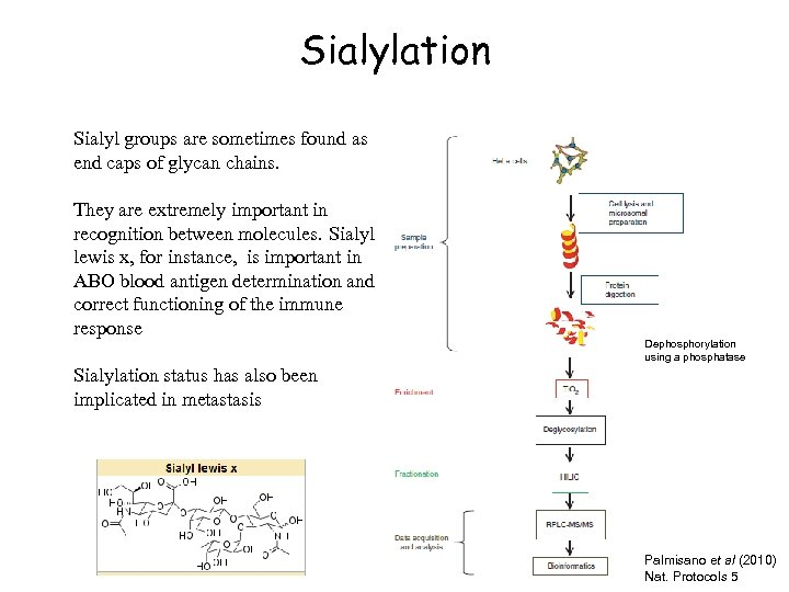 Sialylation Sialyl groups are sometimes found as end caps of glycan chains. They are