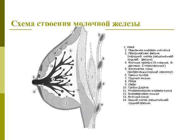 Схема строения молочной железы 1. Кожа 2. Подкожная жировая клетчатка 3. Поверхностная фасция (передний