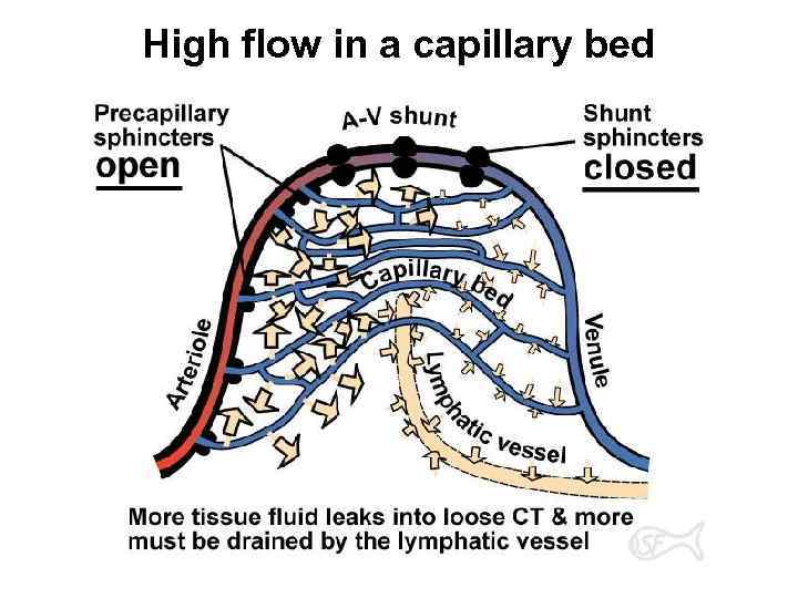 High flow in a capillary bed
