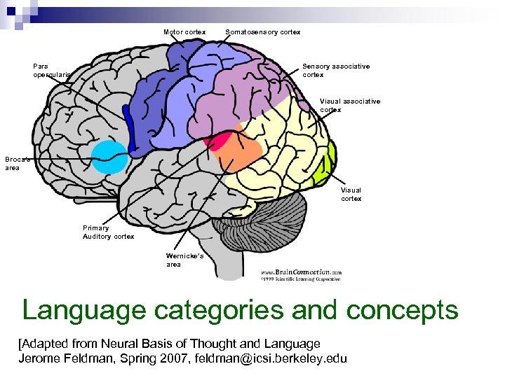 Motor cortex Somatosensory cortex Sensory associative cortex Pars opercularis Visual associative cortex Broca's area