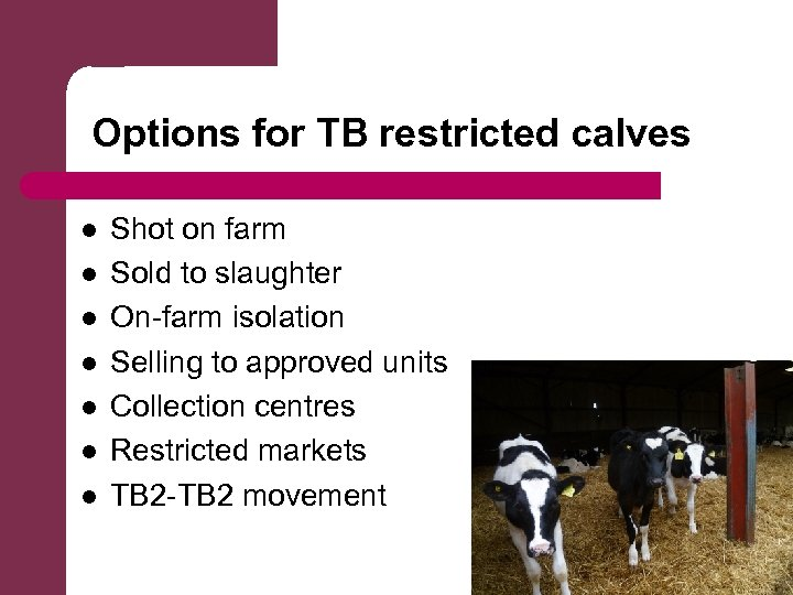 Options for TB restricted calves l l l l Shot on farm Sold to