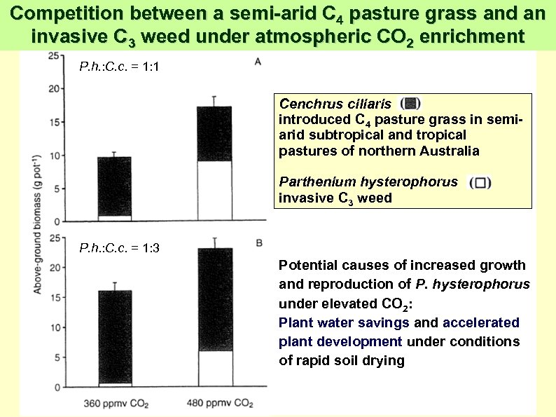 Competition between a semi-arid C 4 pasture grass and an invasive C 3 weed