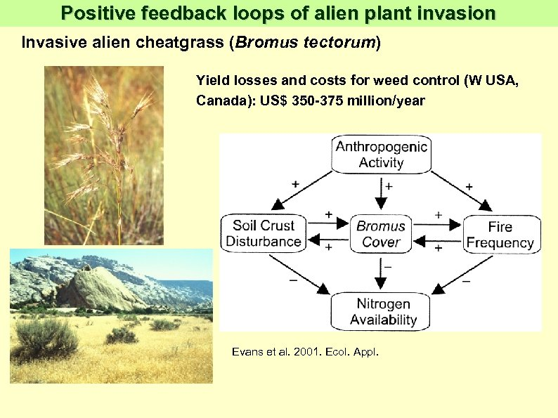 Positive feedback loops of alien plant invasion Invasive alien cheatgrass (Bromus tectorum) Yield losses