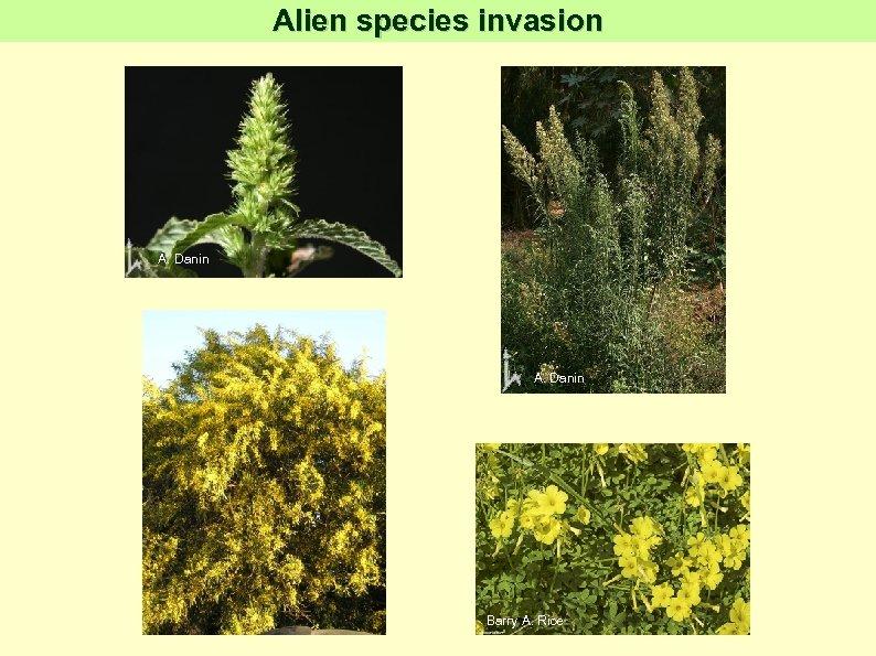 Alien species invasion A. Danin Barry A. Rice