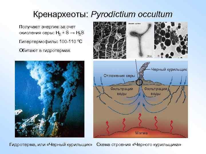 Кренархеоты: Pyrodictium occultum Получают энергию за счет окисления серы: H 2 + S →