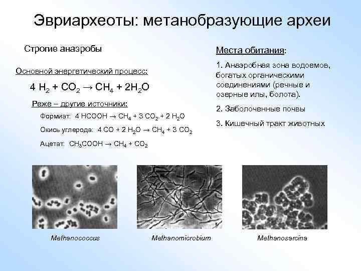 Эвриархеоты: метанобразующие археи Строгие анаэробы Места обитания: 1. Анаэробная зона водоемов, богатых органическими соединениями