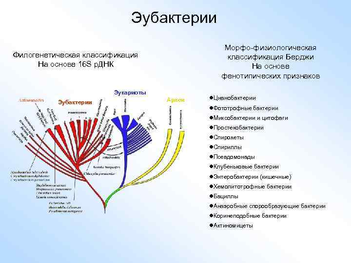 Эубактерии Морфо-физиологическая классификация Берджи На основе фенотипических признаков Филогенетическая классификация На основе 16 S