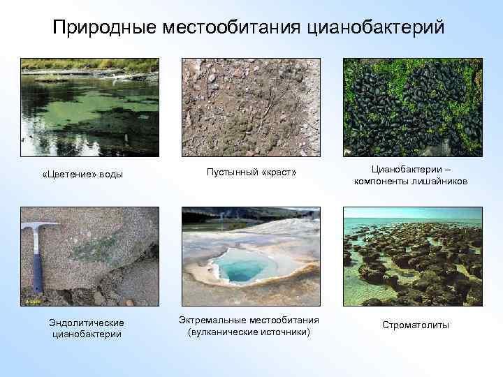 Природные местообитания цианобактерий «Цветение» воды Эндолитические цианобактерии Пустынный «краст» Эктремальные местообитания (вулканические источники) Цианобактерии