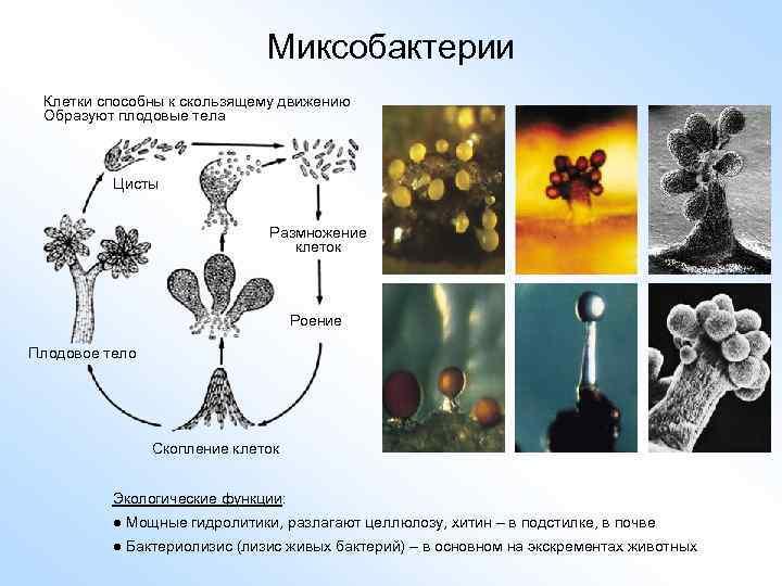 Миксобактерии Клетки способны к скользящему движению Образуют плодовые тела Цисты Размножение клеток Роение Плодовое