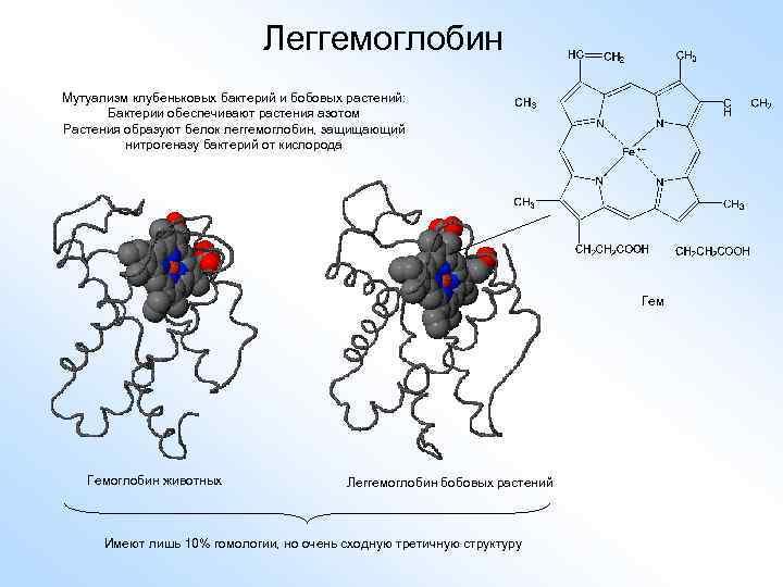 Леггемоглобин Мутуализм клубеньковых бактерий и бобовых растений: Бактерии обеспечивают растения азотом Растения образуют белок