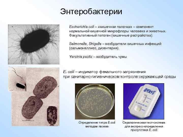 Энтеробактерии Escherichia coli – «кишечная палочка» – компонент нормальной кишечной микрофлоры человека и животных.