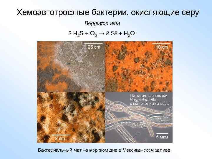 Хемоавтотрофные бактерии, окисляющие серу Beggiatoa alba 2 H 2 S + O 2 →