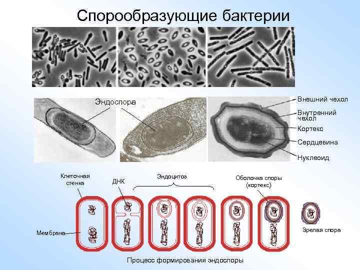 Спорообразующие бактерии Внешний чехол Эндоспора Внутренний чехол Кортекс Сердцевина Нуклеоид Клеточная стенка ДНК Эндоцитоз