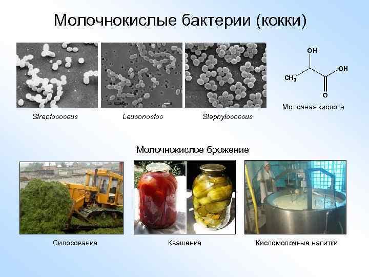 Молочнокислые бактерии (кокки) Молочная кислота Streptococcus Leuconostoc Staphylococcus Молочнокислое брожение Силосование Квашение Кисломолочные напитки