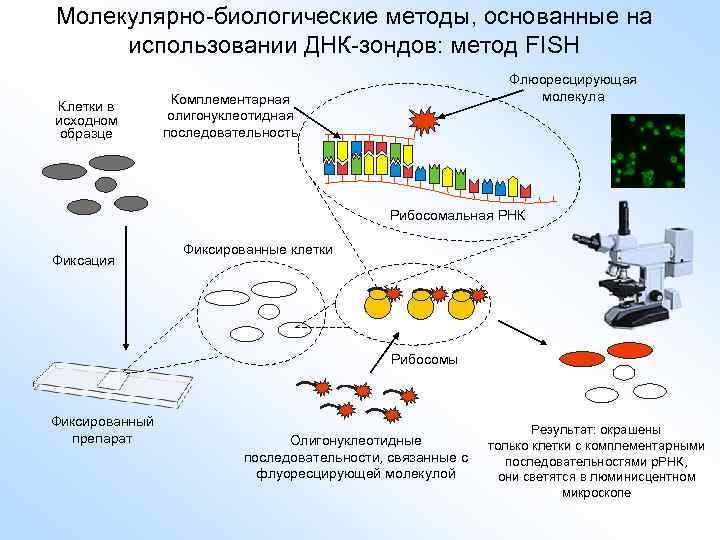 Молекулярно-биологические методы, основанные на использовании ДНК-зондов: метод FISH Клетки в исходном образце Флюоресцирующая молекула
