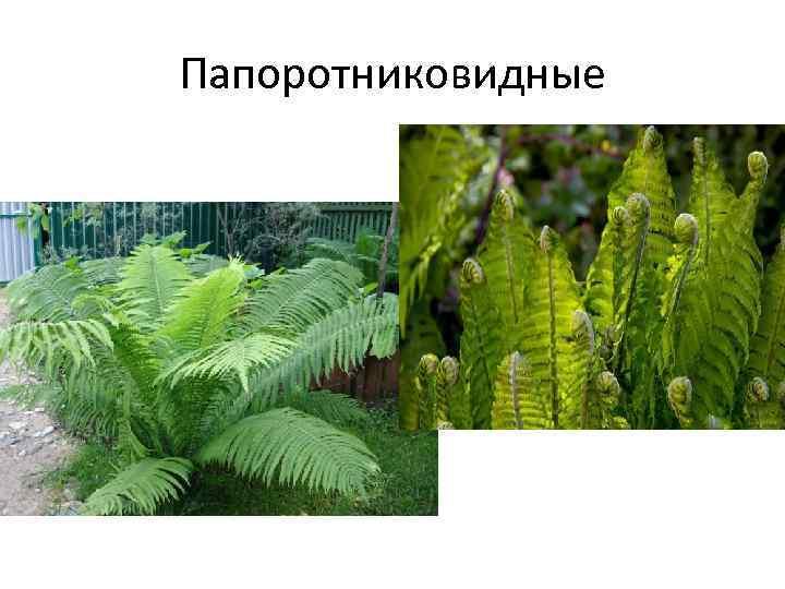 районе частного споровые растения примеры растений фото дат, залов, свободного