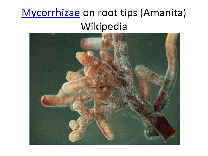 Mycorrhizae on root tips (Amanita) Wikipedia