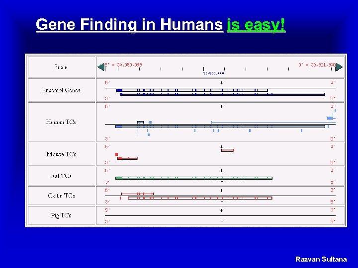 Gene Finding in Humans is easy! Razvan Sultana
