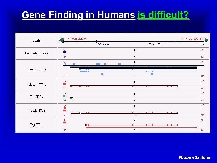Gene Finding in Humans is difficult? Razvan Sultana