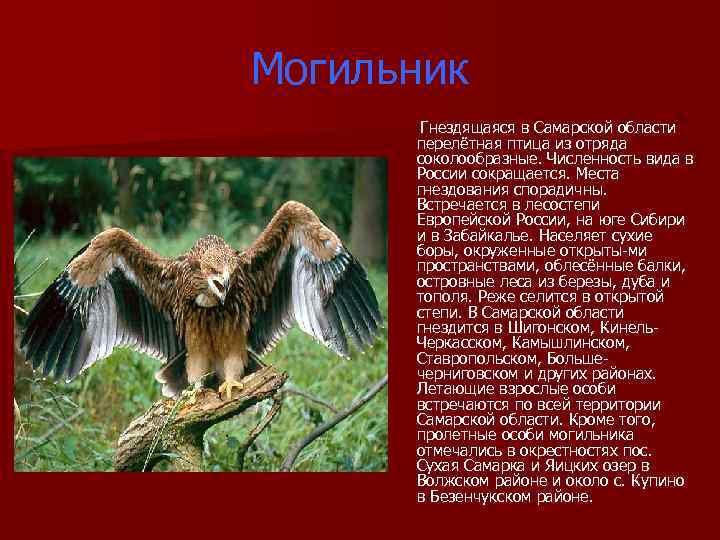 Могильник Гнездящаяся в Самарской области перелётная птица из отряда соколообразные. Численность вида в России