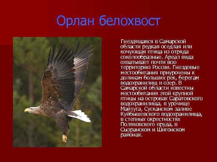 Орлан белохвост Гнездящаяся в Самарской области редкая оседлая или кочующая птица из отряда соколообразные.