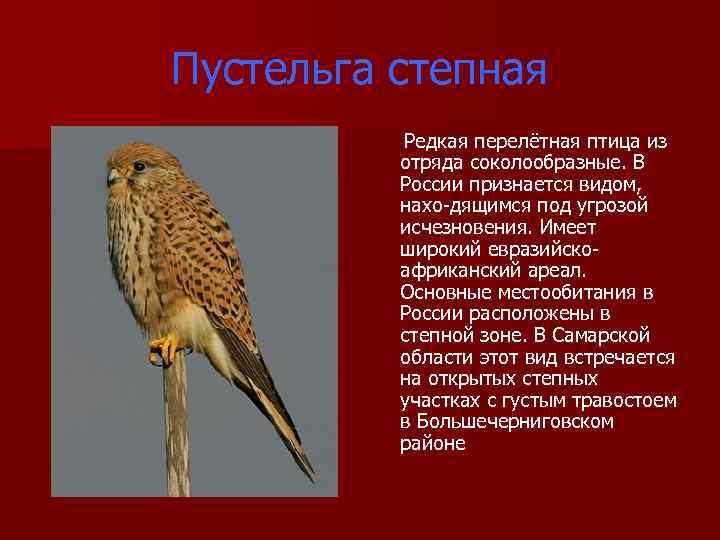 Пустельга степная Редкая перелётная птица из отряда соколообразные. В России признается видом, нахо дящимся