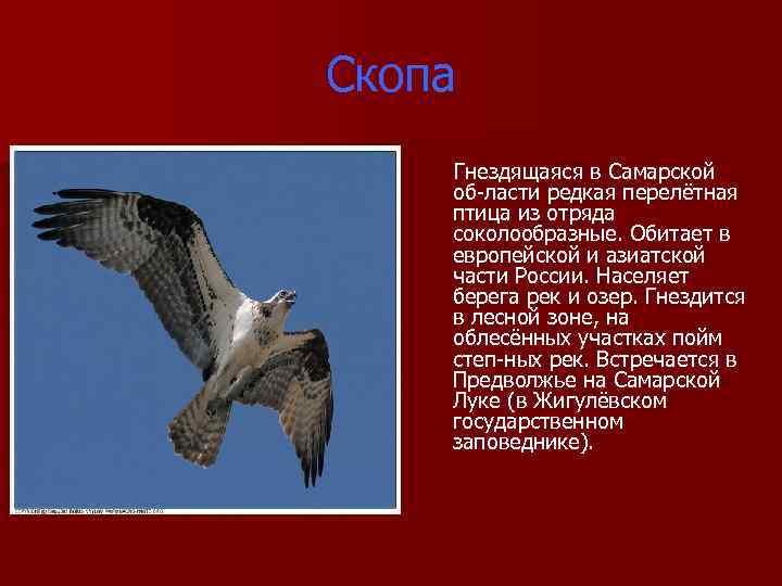 Скопа Гнездящаяся в Самарской об ласти редкая перелётная птица из отряда соколообразные. Обитает в