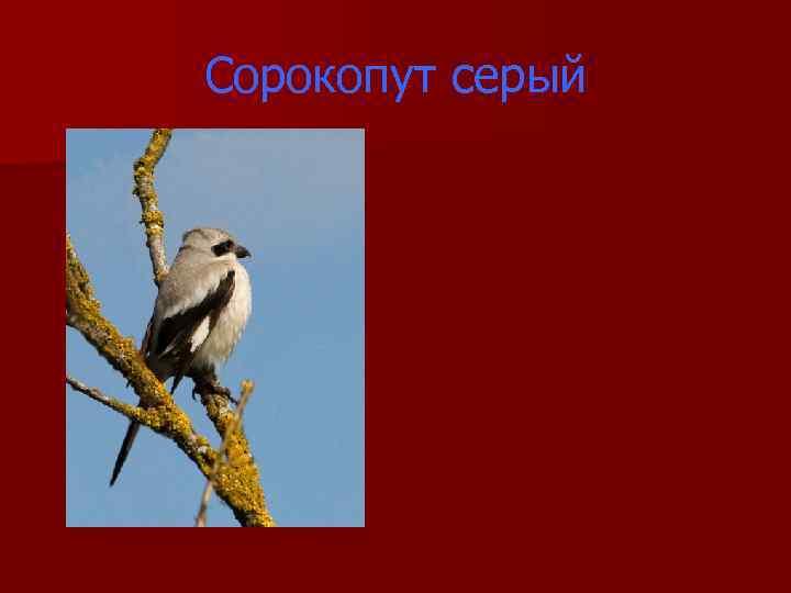 Сорокопут серый
