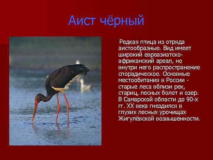 Аист чёрный Редкая птица из отряда аистообразные. Вид имеет широкий евроазиатско африканский ареал, но