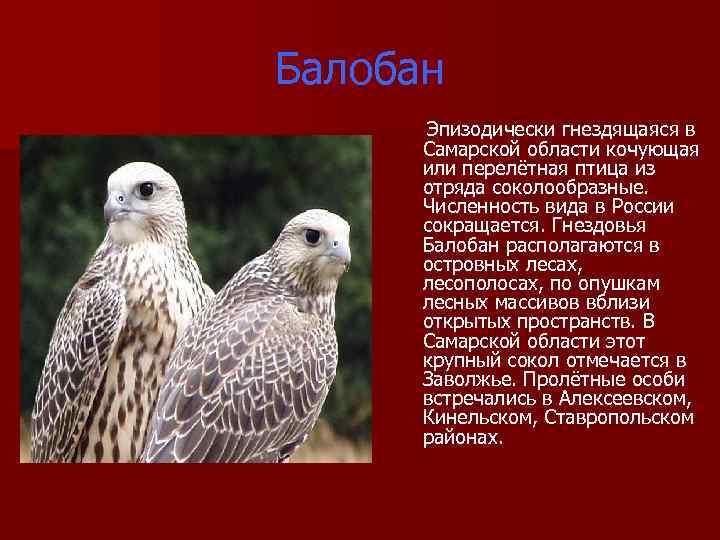 Балобан Эпизодически гнездящаяся в Самарской области кочующая или перелётная птица из отряда соколообразные. Численность