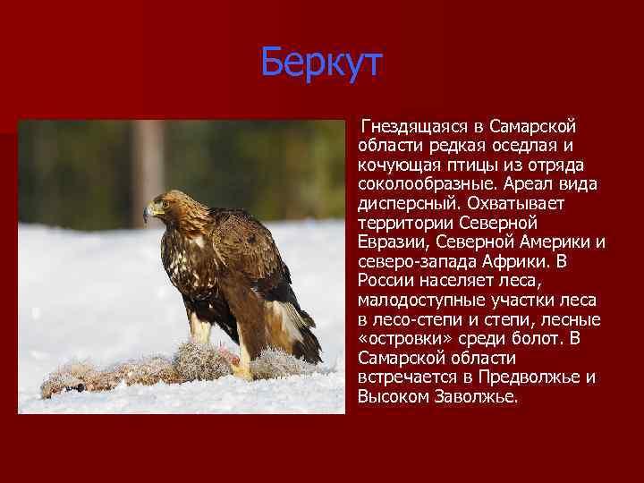 Беркут Гнездящаяся в Самарской области редкая оседлая и кочующая птицы из отряда соколообразные. Ареал