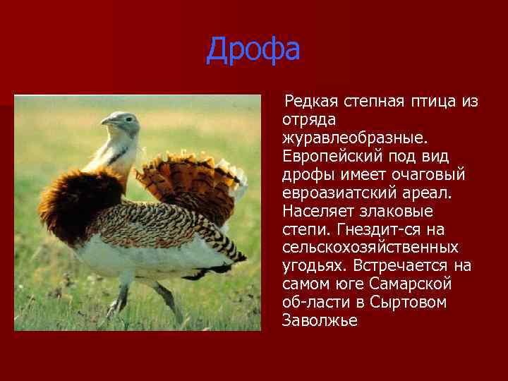 Дрофа Редкая степная птица из отряда журавлеобразные. Европейский под вид дрофы имеет очаговый евроазиатский