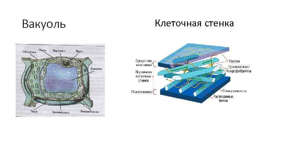 Вакуоль Клеточная стенка