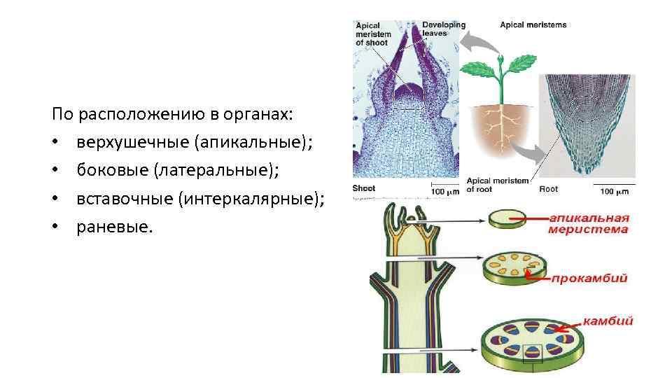 По расположению в органах: • верхушечные (апикальные); • боковые (латеральные); • вставочные (интеркалярные); •