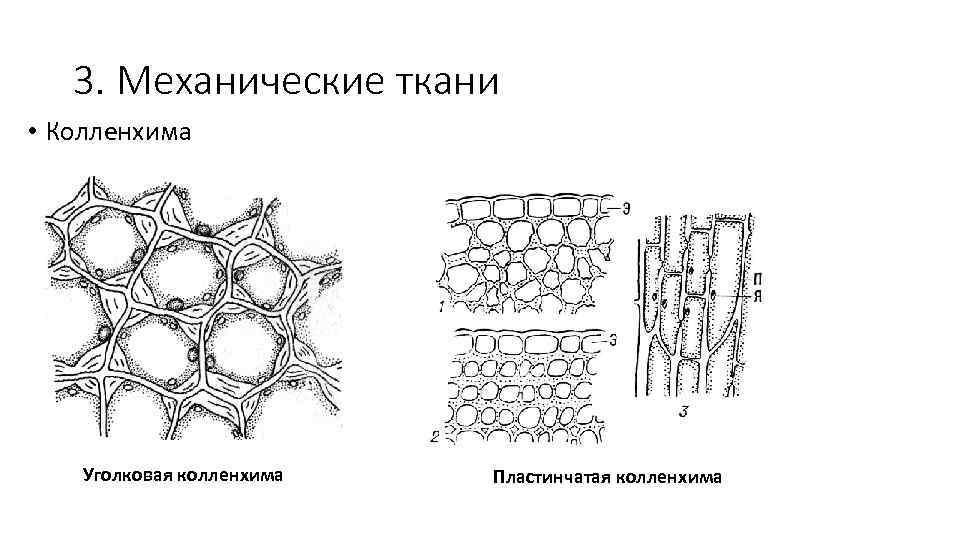 3. Механические ткани • Колленхима Уголковая колленхима Пластинчатая колленхима