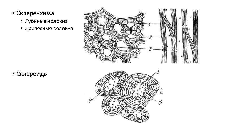• Склеренхима • Лубяные волокна • Древесные волокна • Склереиды