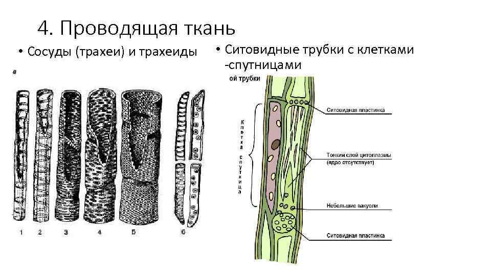 4. Проводящая ткань • Сосуды (трахеи) и трахеиды • Ситовидные трубки с клетками -спутницами