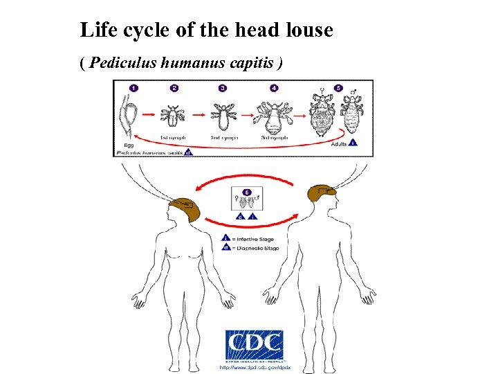 Life cycle of the head louse ( Pediculus humanus capitis )