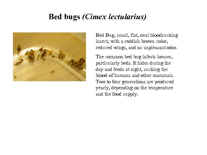 Bed bugs (Cimex lectularius) Bed Bug, small, flat, oval bloodsucking insect, with a reddish-brown