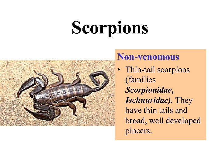 Scorpions Non-venomous • Thin-tail scorpions (families Scorpionidae, Ischnuridae). They have thin tails and broad,