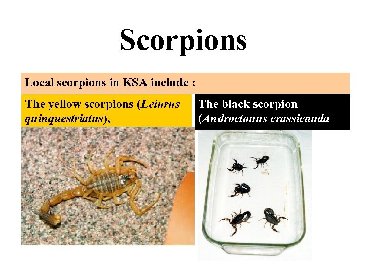 Scorpions Local scorpions in KSA include : The yellow scorpions (Leiurus quinquestriatus), The black