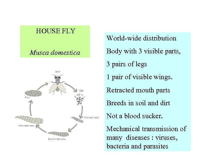 HOUSE FLY World-wide distribution Body with 3 visible parts, Musca domestica 3 pairs
